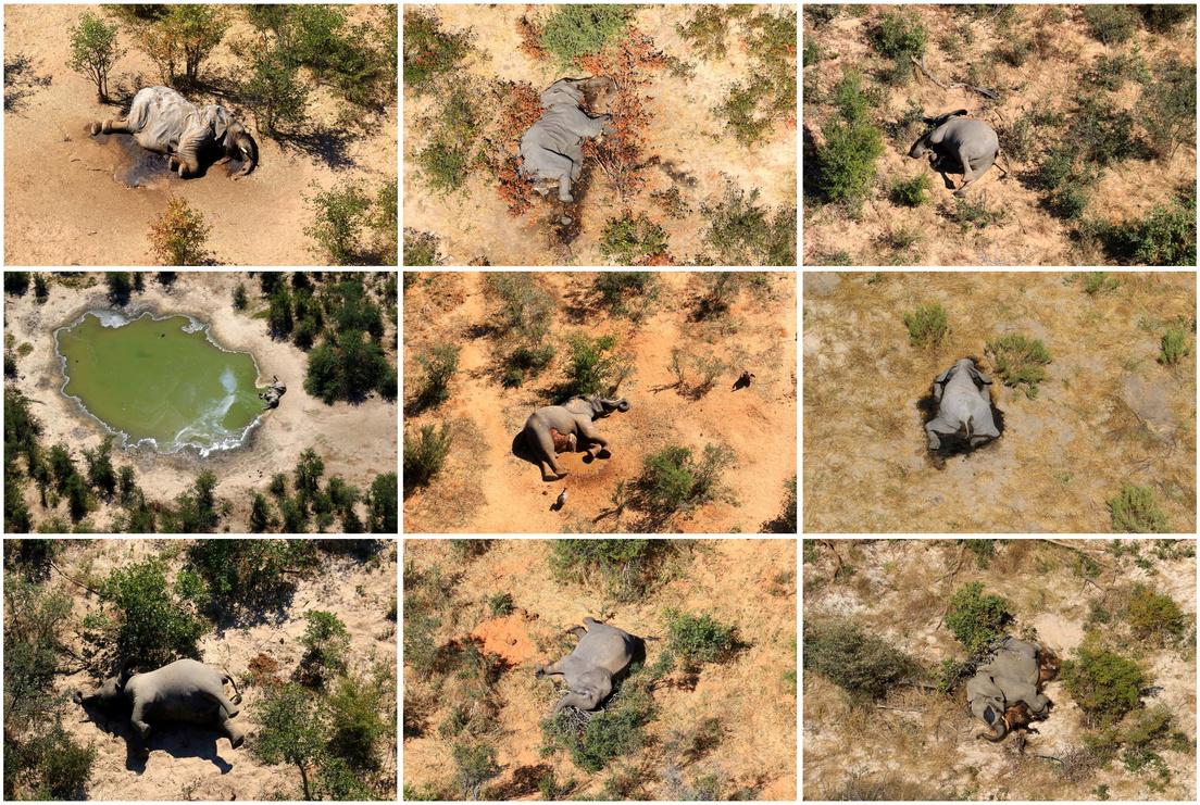 Decenas de elefantes