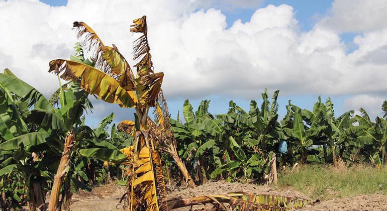 Enfermedad del banano