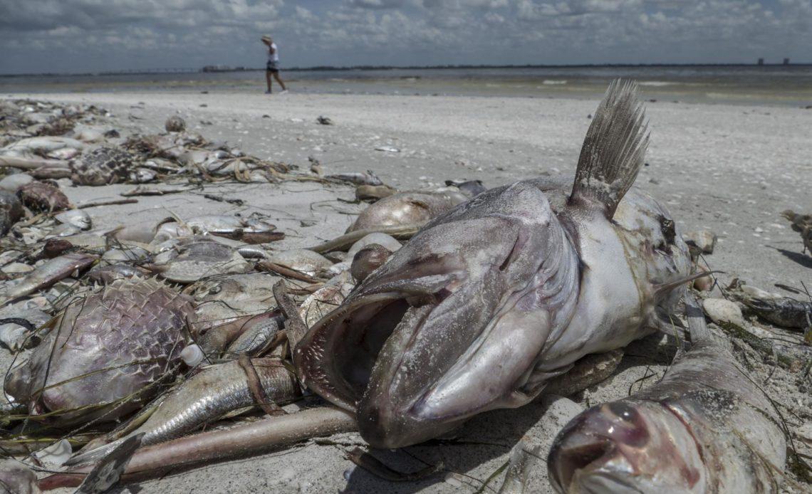 Miles de peces muertos por la marea roja que afecta a la costa oeste de Florida