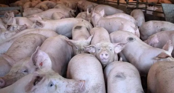 Elevan a 15 el número de provincias afectadas por la peste porcina africana