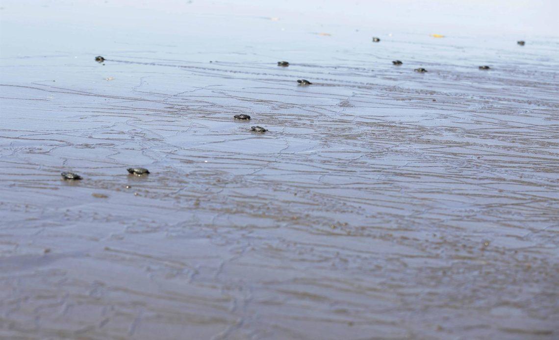 Las tortugas jóvenes en mar abierto, expuestas a la ingesta de plásticos