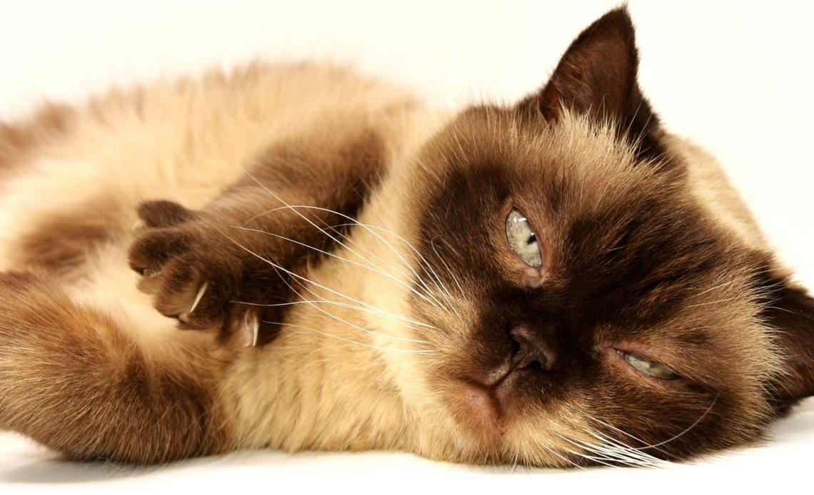 Una nueva aplicación podría identificar si tu gato tiene algún dolor