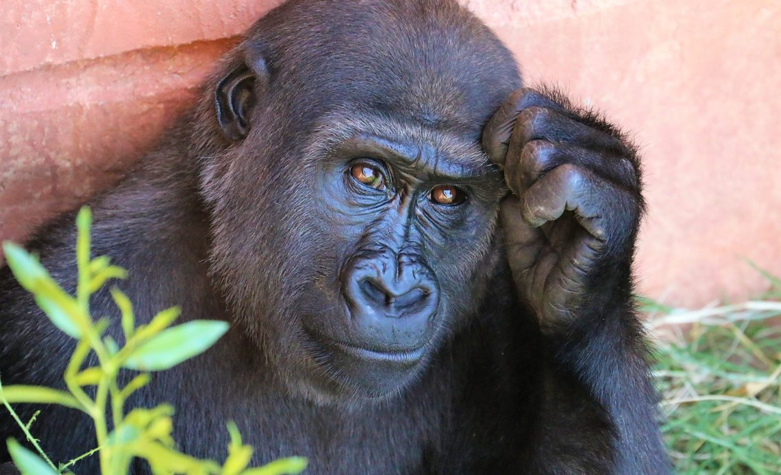 Gorilas de un zoo de EEUU en tratamiento por covid